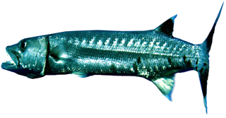 Barracuda 3